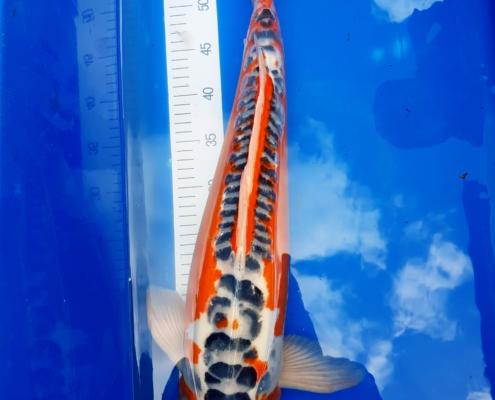 Japan Koi 50-60 cm