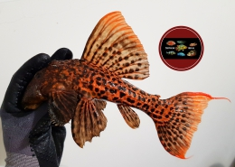 "L 273 Pseudacanthicus sp. ""RED TITANIC"""