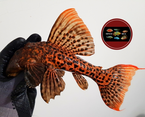 "L 273 Pseudacanthicus sp. ""RED TITANIC"""