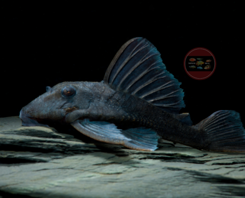 "L 239 Blauer Panaque ""Baryancistrus"" beggini"