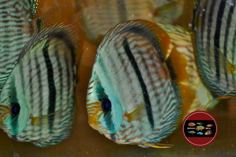 Diskus - Heckel Blue Face Special
