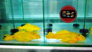 "L 56 Parancistrus aurantiacus ""YELLOW RUBBER"""