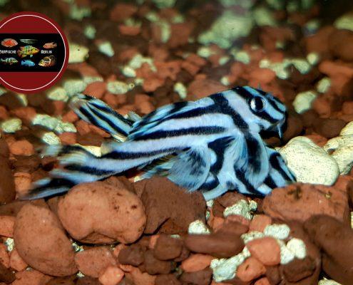 L 46 Hypancistrus zebra