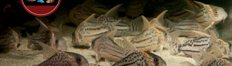 Corydoras aff. pulcher