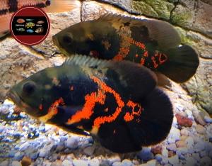 """Astronotus ocellatus """"SUPER RED TIGER"""""""