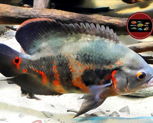 """Astronotus sp. """"Lago Manacapuru"""""""