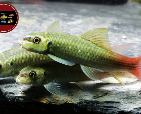"Garra sp. ""RED TAIL"""