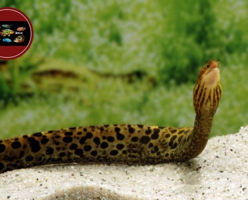 Gymnothorax polyuranodon