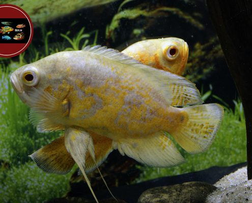 "Astronotus ocellatus ""YELLOW LEMON"""