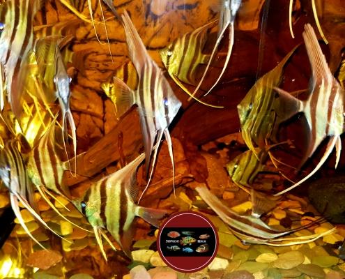 """Pterophyllum altum """"RIO VAUPES"""""""