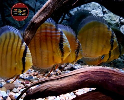 "Symohysodon aequifasciatus axelrodi ""CAMETA"""