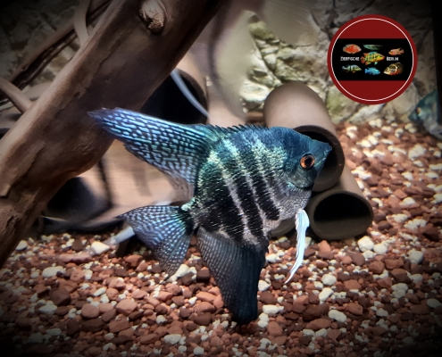"Pterophyllum scalare ""PINOY BLUE"""