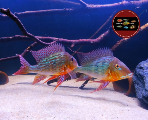 "Geophagus altifrons ""Trombetas"""
