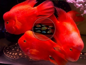 "Red Mammon Cichlid ""KINGKONG PARROT"""