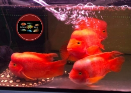 """Red Mammon Cichlid """"KINGKONG PARROT"""""""