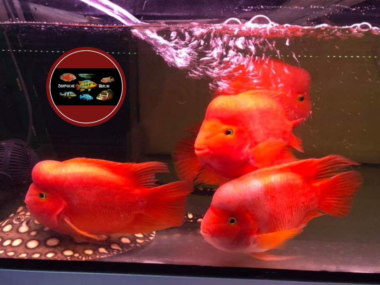 Red Mammon Cichlid