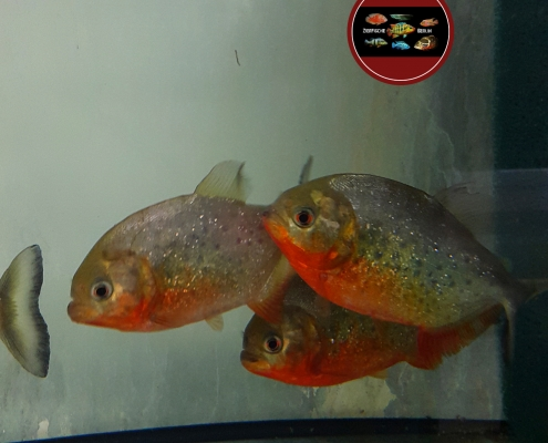 Serrasalmus (Pygocentrus) nattereri