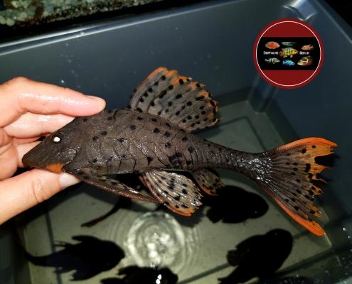 L-95Pseudorinelepis-genibarbis-20-cm-Wildfang