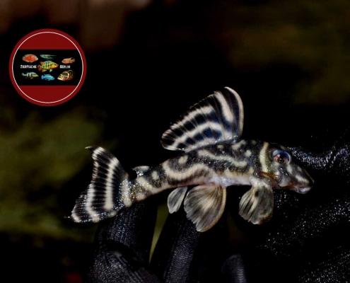 L 475 Zebrawels, WF Hypancistrus sp. (L500 Type)