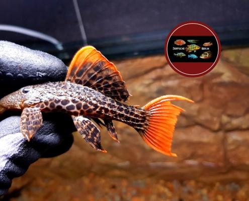 L600 / LDA 07 Pseudacanthicus cf. leopardus