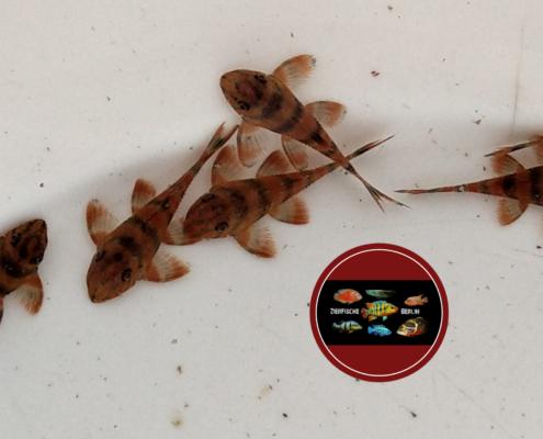 L 306 Takutu-Tigerharnischwels Panaqolus claustellifer