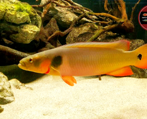 Crenicichla sp. Cobra Pike