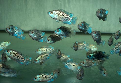 """Rocio octofasciata """"BLUE DEMPSEY"""""""