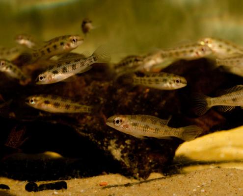 """Dicrossus maculatus """"Tapajos"""""""