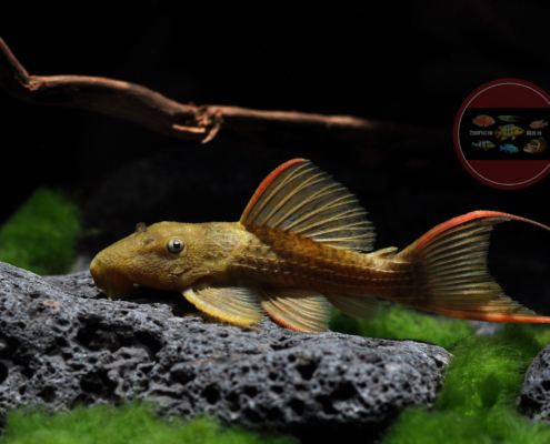 """L 24 Pseudacanthicus pitanga """"Red Fin"""""""