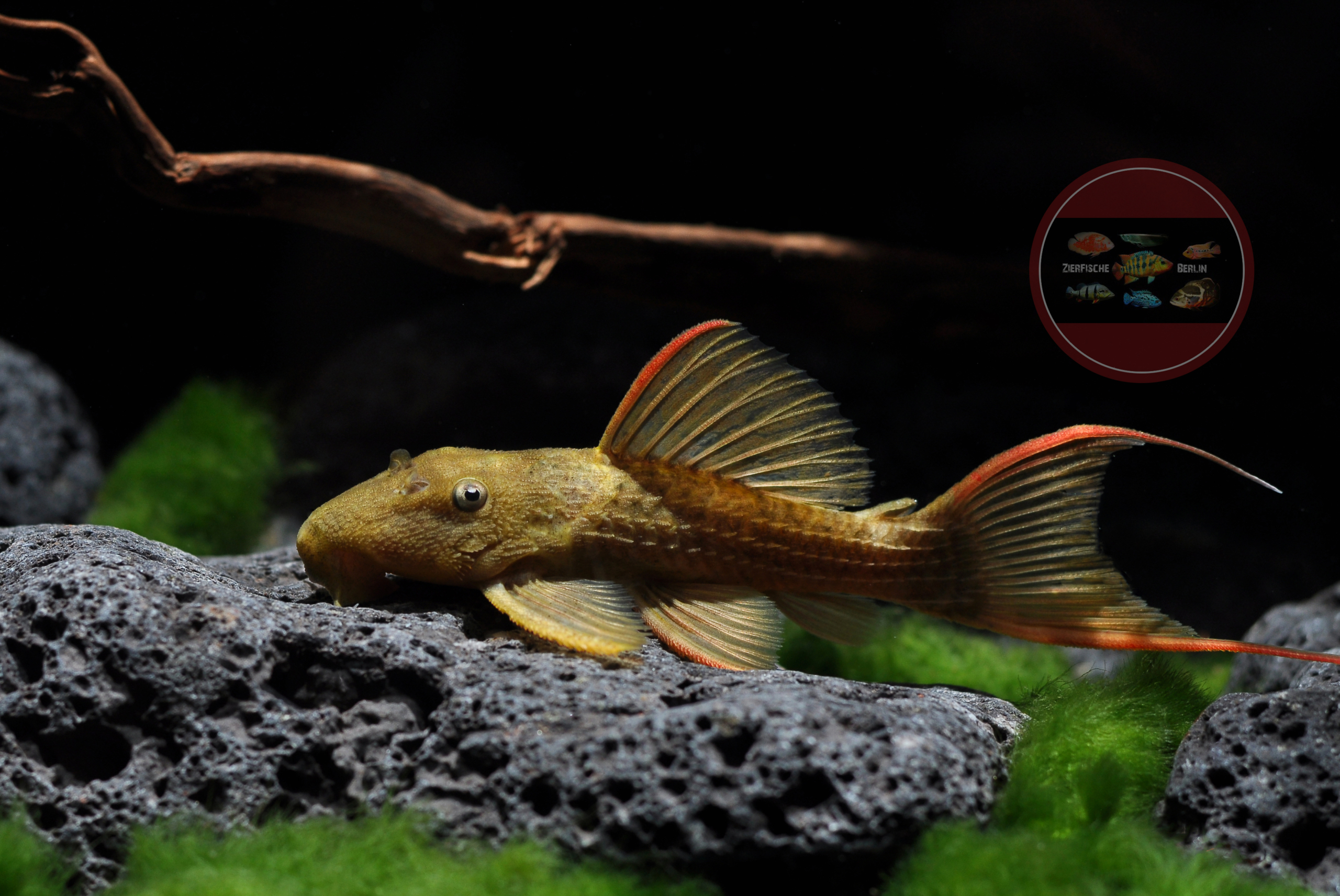 L024 Pseudacanthicus sp