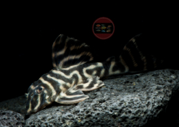 "L 475 Nhamunda-Zebrawels WF Hypancistrus sp. ""NHAMUNDA"""