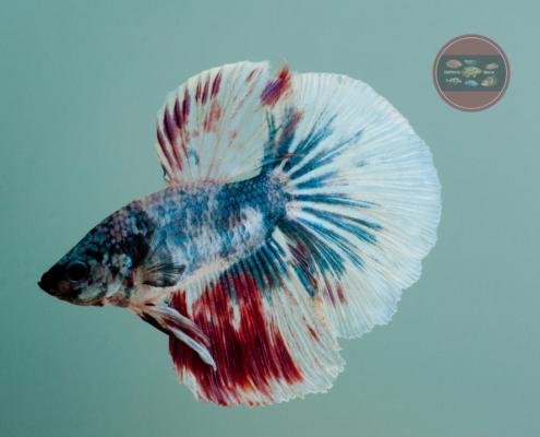 Kampffisch Betta splendens Halfmoon