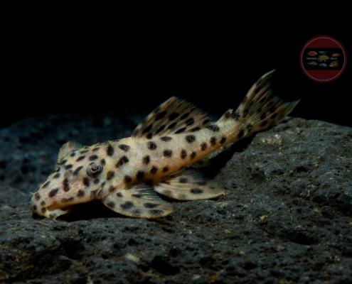 L172 Leporacanthicus heterodon