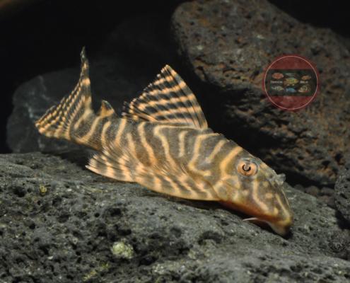 L401 Hypancistrus sp.