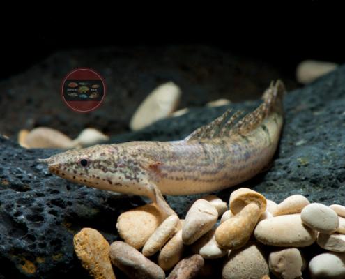 Zaire-Flösselhecht Polypterus delhezi