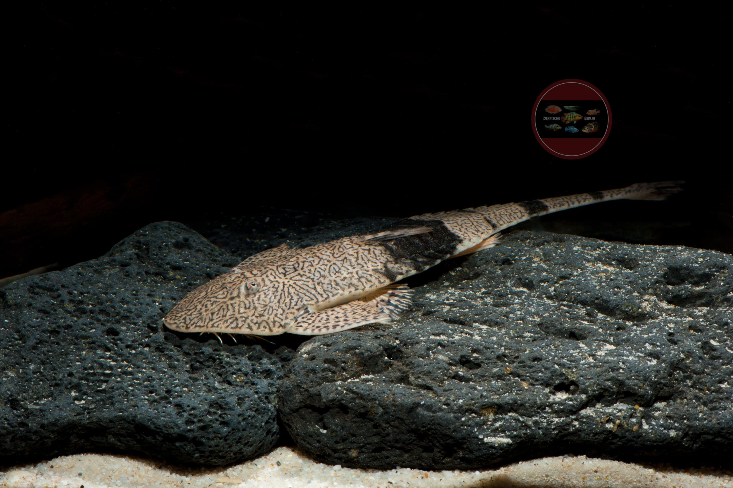Pseudohemiodon aphitanos - Netzmuster Flunderharnischwels