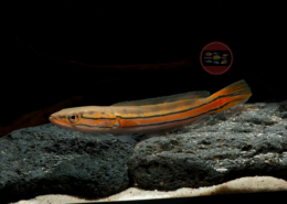 Malabar-Snakehead Channa diplogramma