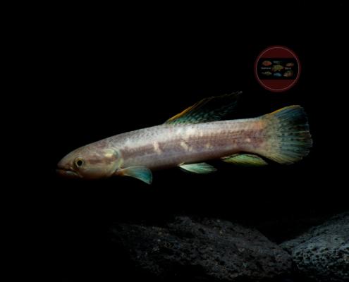 Rotflossen Raubssalmler Lachssalmler Erythrinus sp.