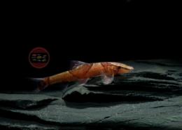 Rote Geckoschmerle WF Homaloptera confuzona