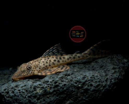 L 153 Deltaschwanz-Haischilderwels Aphanotorulus emarginatus