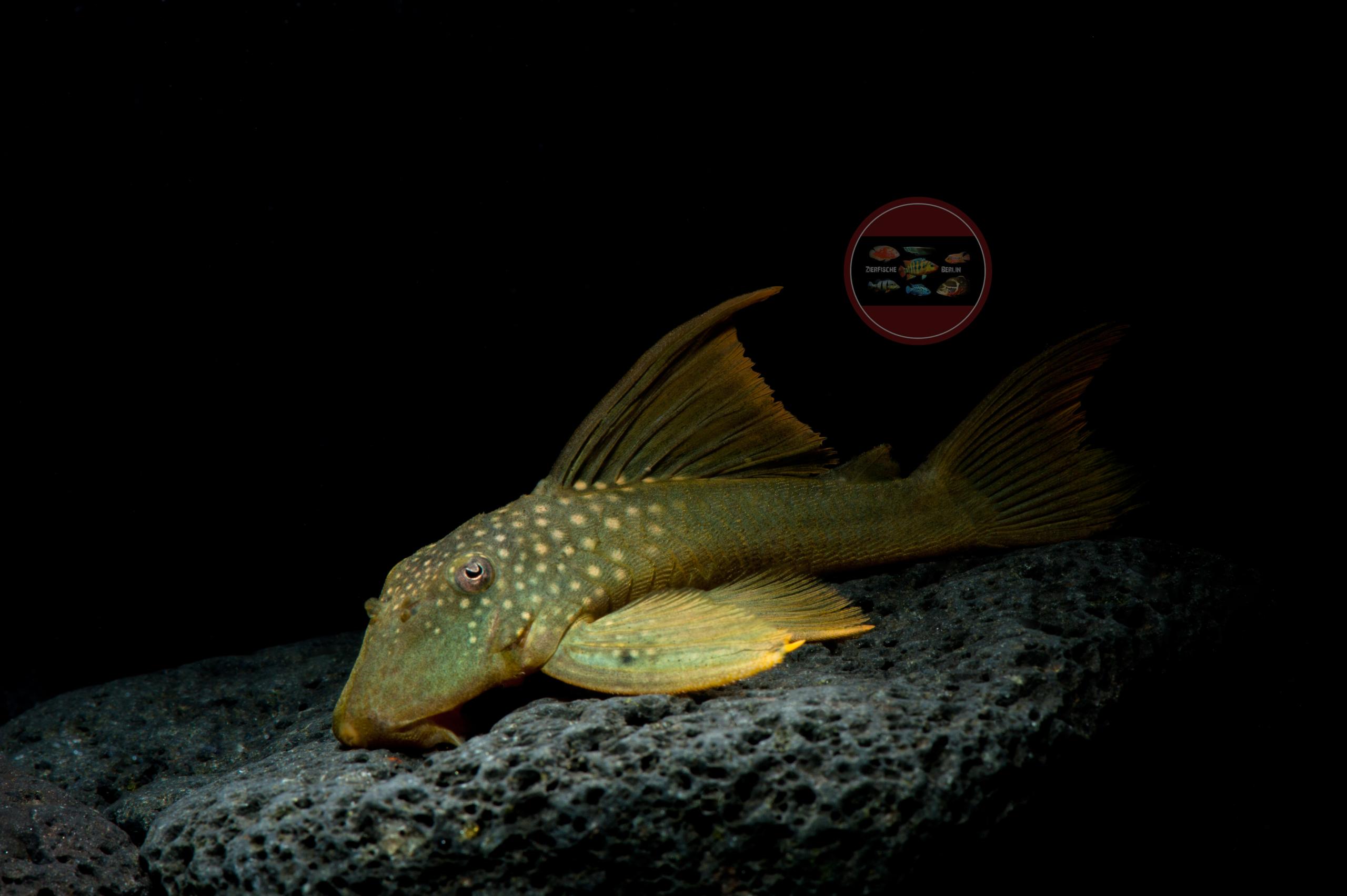 L 200 Gelber Phantomwels Baryancistrus demantoides