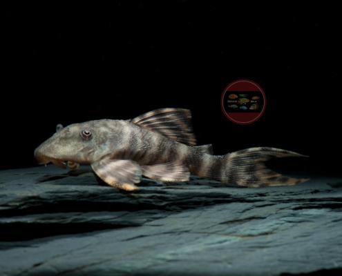 L 206 Ucayali-Tigerharnischwels, WFPanaqolus sp.4-6 cm