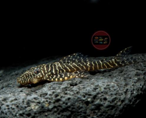 L 257 Tiger-Fliegerharnischwels Pseudolithoxus tigris