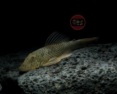 "L 444 Chaetostoma formosae (""Thomasi"")"