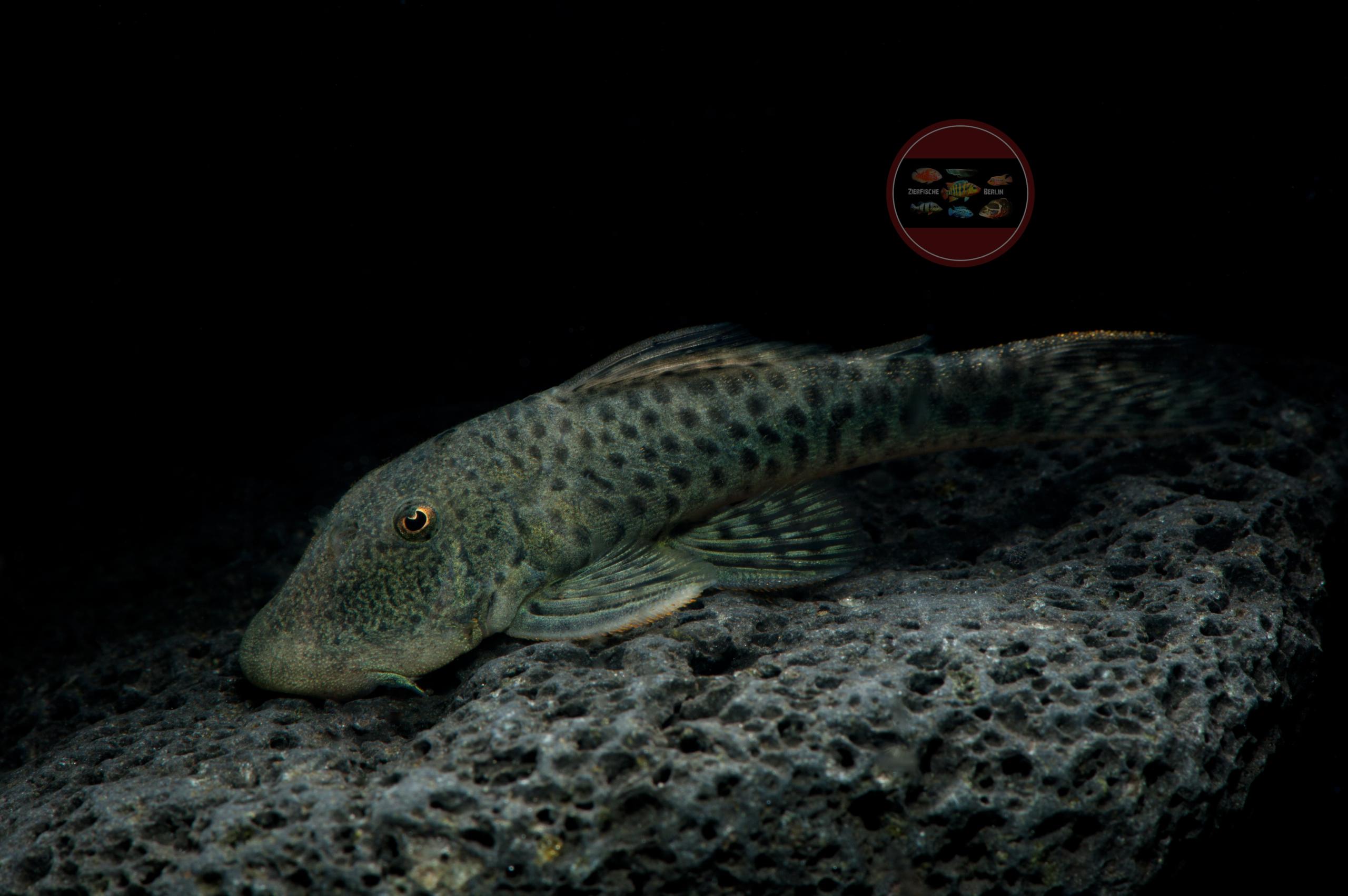 L 445 Gebirgsharnischwels gefleckt Chaetostoma joropo