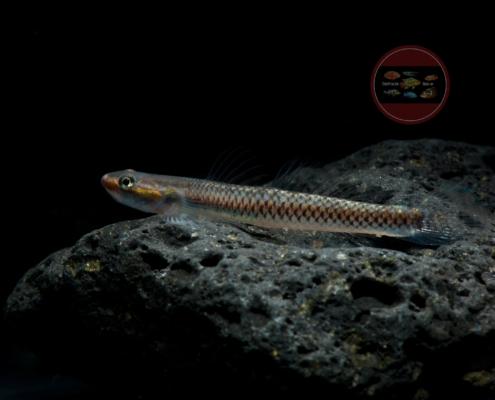 Neongrundel Stiphodon seemoni