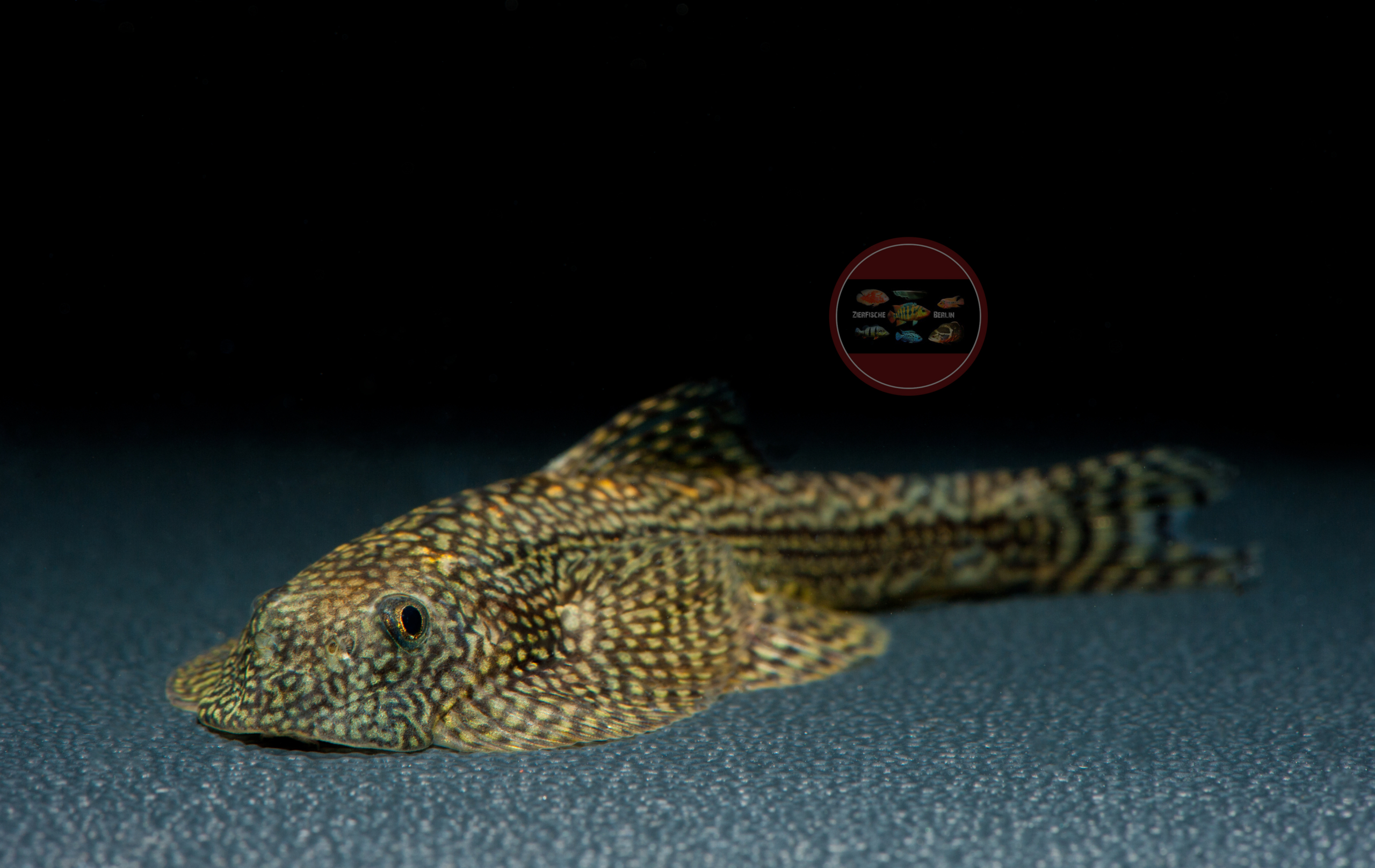 Perllinien-Prachtflossensauger Sewellia cf. monolobata (SEW01)