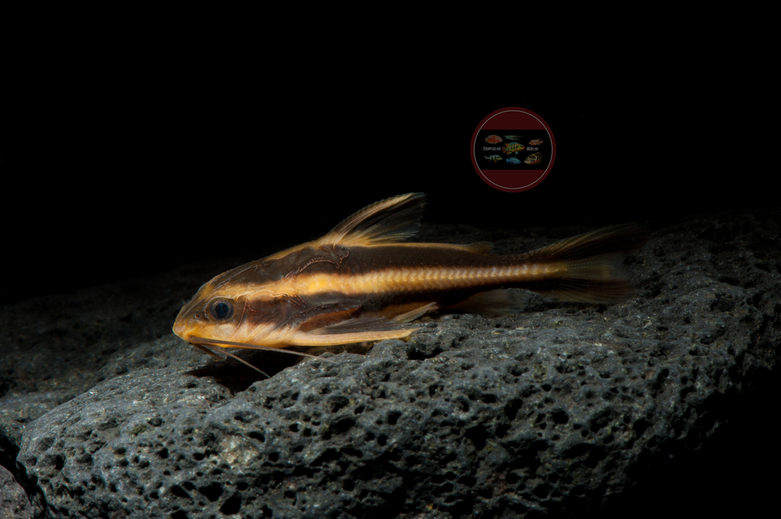 Liniendornwels Platydoras costatus
