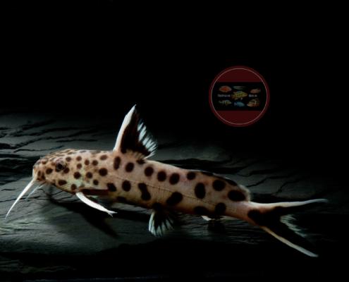 "Tanganjika-Zwergfiederbartwels Synodontis lucipinnis ""Petricola"""