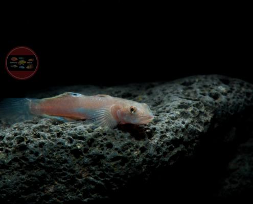 Syciopus sp.